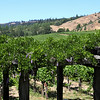 Navarro Vineyard in the Anderson Valley.